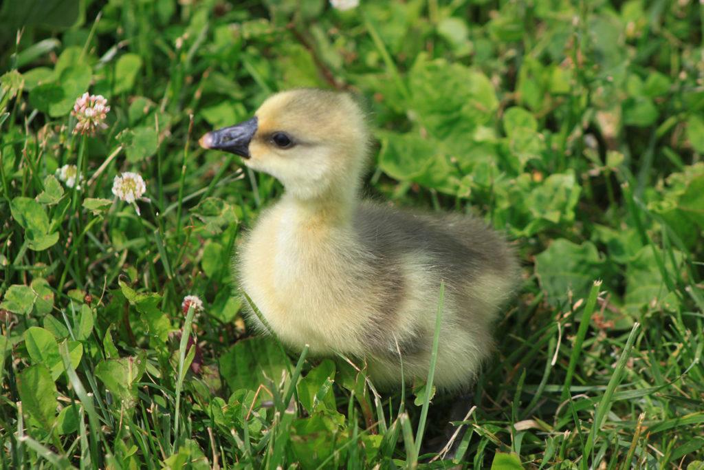 duckling from famliy farmer