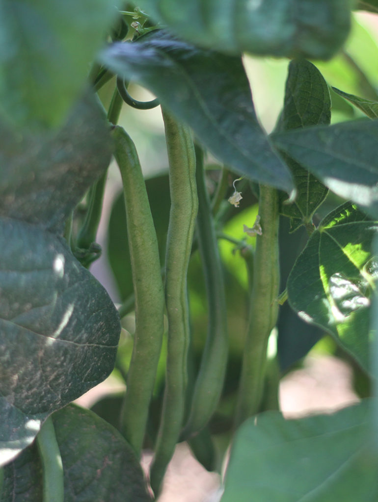 organic vegetables for sale family farmer