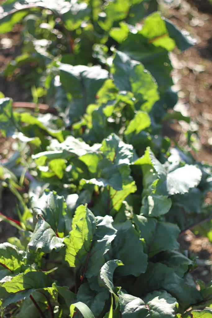 organic vegetables for sale from family farmer